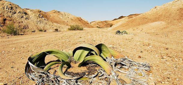 Voyage vall e des welwitschias vacances et circuit sur mesure vall e des welwitschias - Le comptoir du mirabilis ...